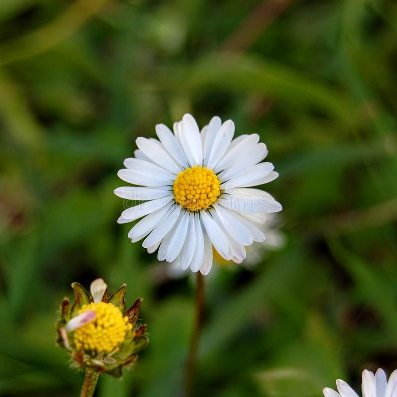 Macro white blooming daisy stock images
