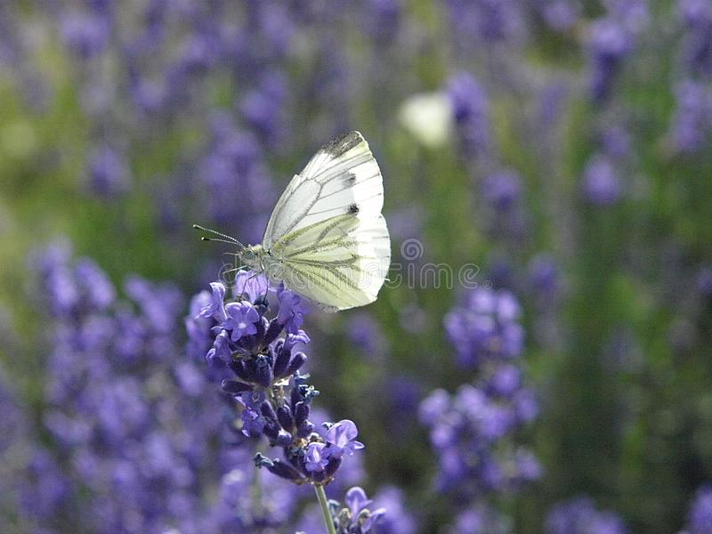 Macro of a white carbon butterfly royalty free stock images