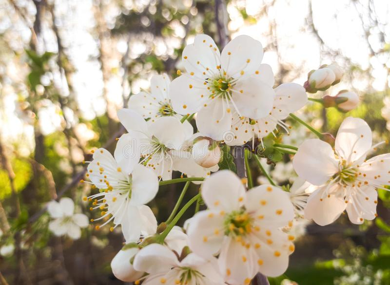 Macro white cherry blossoms stock images