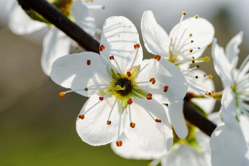 Macro of white cherry blossoms on a twig, backlit by sunlight. White cherry blossoms on a twig, sunlight shining through the petals macro, close-up, diagonal stock image