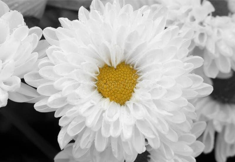 Macro of white chrysanthemum flower in full bloom with heart shaped center. Romantic background and love concept. Horizontal macro photo of white chrysanthemum stock photography
