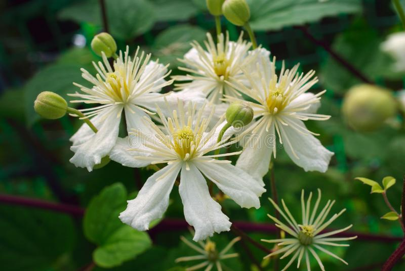 Macro white clematis flowers in green background stock photography