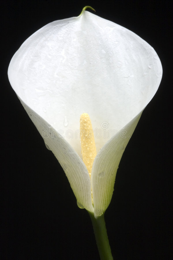 Macro of white flower. With water drops royalty free stock photo