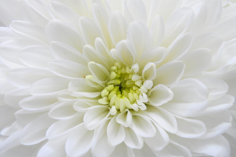 Macro of white flower aster royalty free stock photography