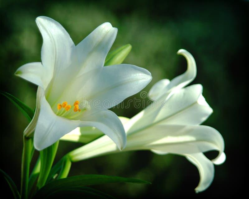 Macro white flower pedals stock photo