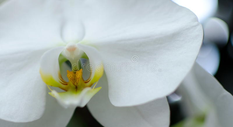 Macro of a White Orchid in Hawaiian garden. White Phalaenopsis Orchid in Hawaiian garden near Volcano State Park royalty free stock photography