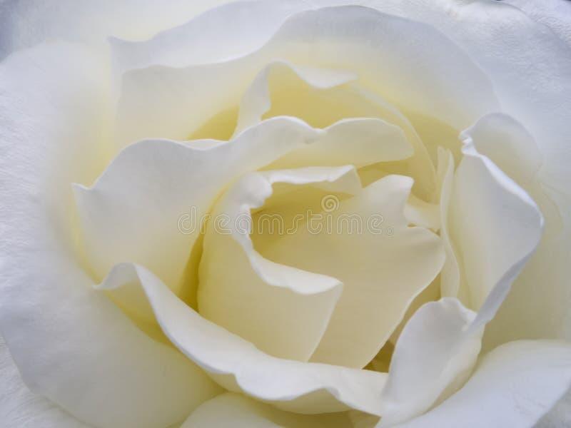 Macro white rose stock photos