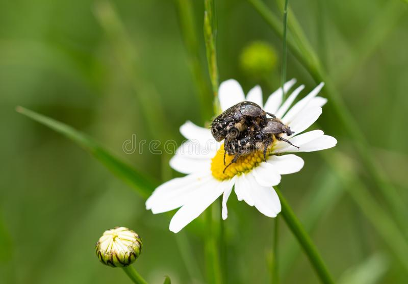 Macro of 2 white spotted rose beetles oxythyrea funesta mating on a daisy leucanthemum blossom with blurred bokeh background stock photos