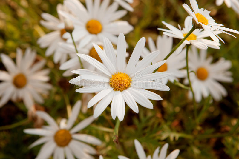 Macro of wild daisies. Pretty flowers in the field. Macro of wild daisies royalty free stock photos