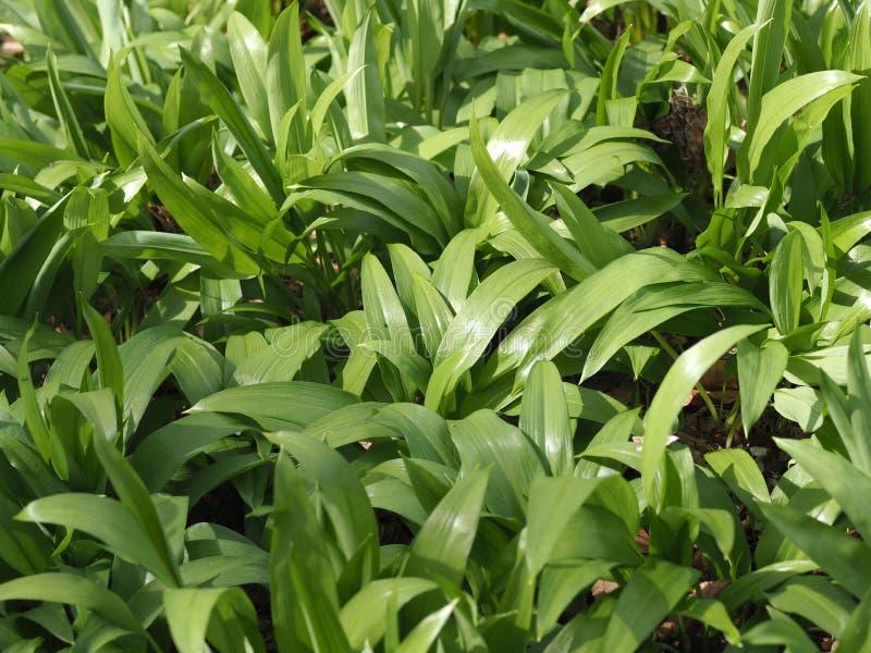 Macro of wild garlic plants. Macro of fresh wild garlic in a field stock image