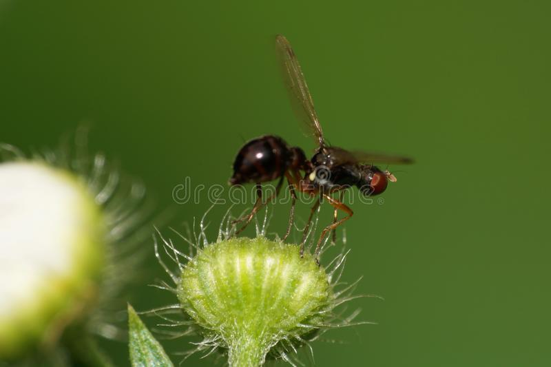 Macro winged black Caucasian fly flies ant on a fluffy bud in summer royalty free stock photos