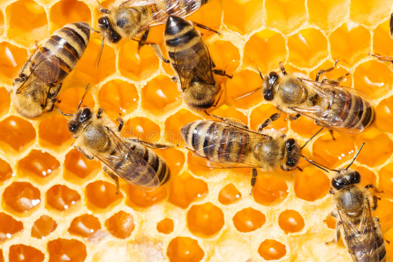 Download Macro Of Working Bee On Honeycells. Stock Image - Image of yellow, medicine: 39503681