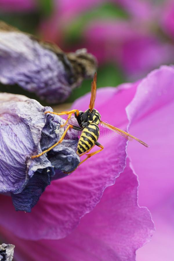 Macro of a yellow-black Caucasian wasp Polistes nimpha sitting o royalty free stock photography