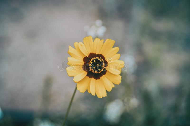 Macro of a yellow and brown flower isolated from coreopsis grand royalty free stock images