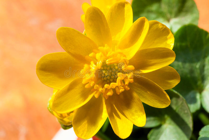 Macro Yellow Flower Plant at Spring Beginning. Flower of yellow color and green leaves. Macro Yellow Flower Plant at Spring Beginning. Flower of yellow color stock images