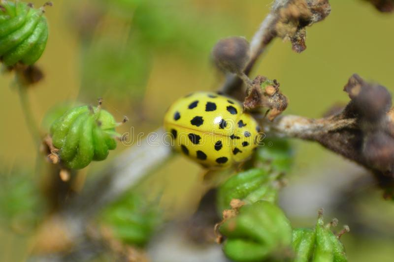 Macro from a yellow Ladybird in nature royalty free stock image