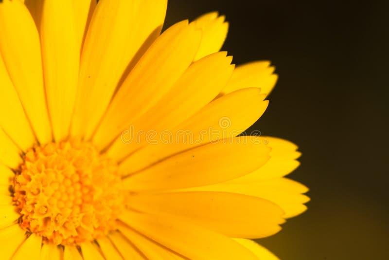Macro of a yellow marigold flower stock photography