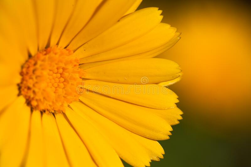 Macro of a yellow marigold flower royalty free stock image