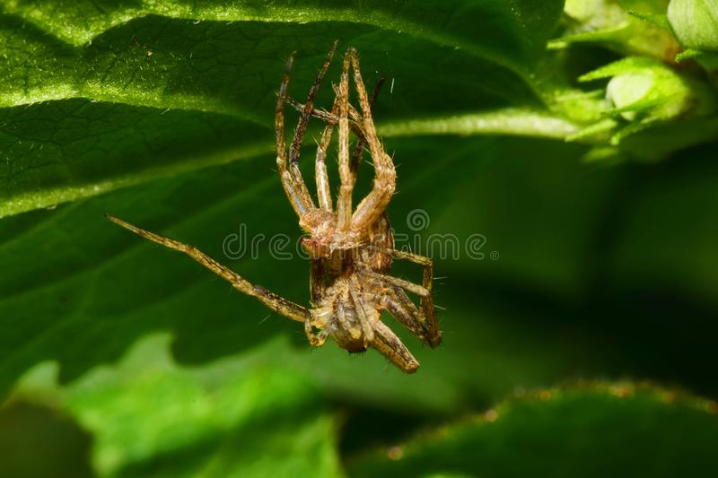 Macro of a young faded fluffy spider Arachnida sitting under a g stock photography