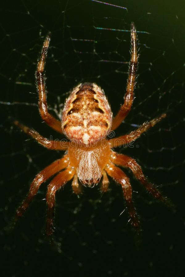 Macro of a young spider of a cross of the genus Araneus hanging royalty free stock image