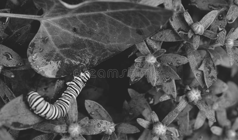 Macro zwart-witte foto van een monarchrupsbanden buiten het worden klaar om een beet uit een blad te nemen royalty-vrije stock fotografie