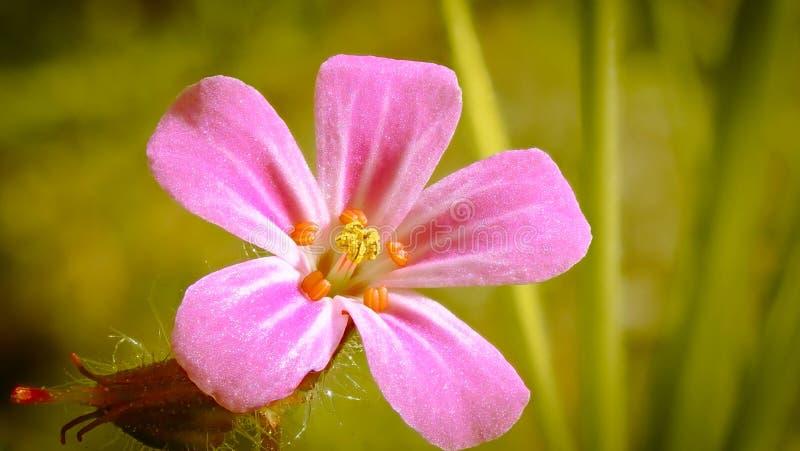 Macrobeeld van de bloem van Geraniumrobertianum royalty-vrije stock fotografie