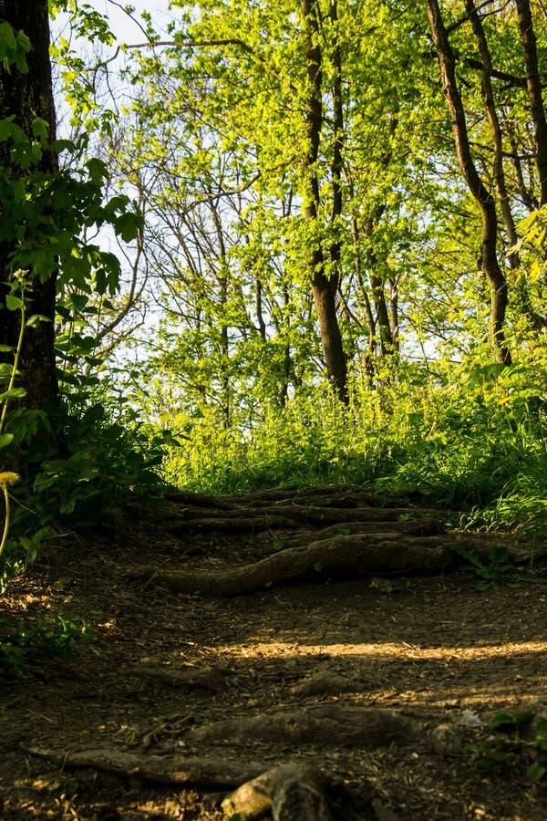Macrobeeld van de grond van een bos het droge beukblad in de voorgrond en de delen van een wortel stock afbeeldingen