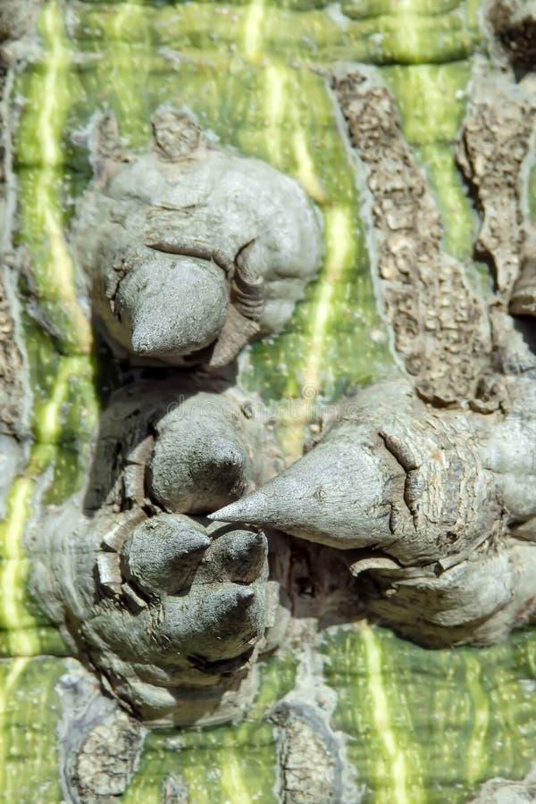 Macrobeeld van de schors en de stekels van een katoenen boom royalty-vrije stock afbeelding