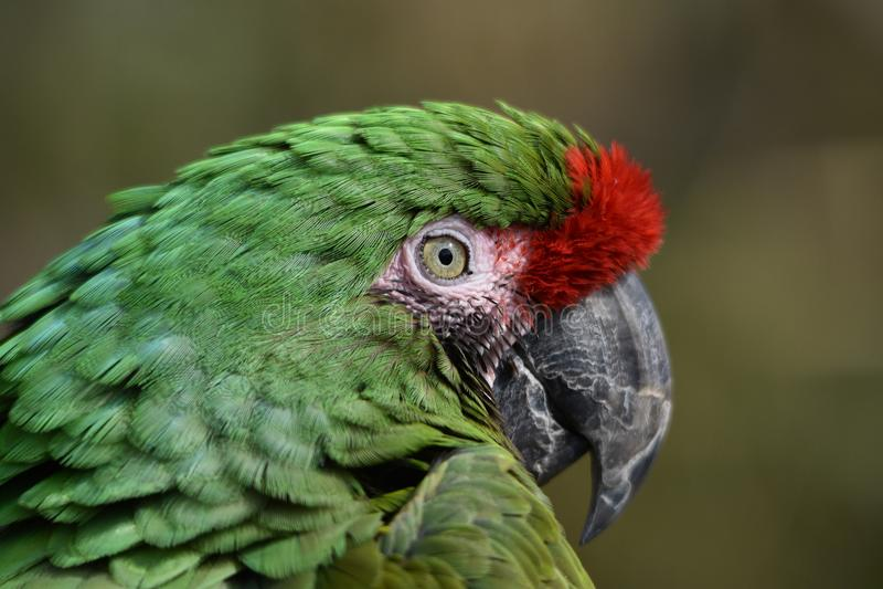 Macrobeeld van een groen papegaai` s gezicht en een oog