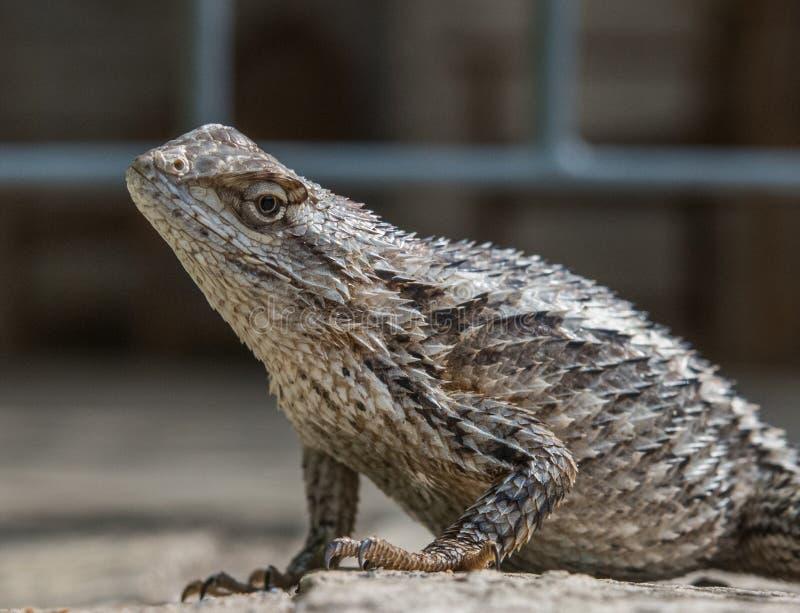 Macrobeeld van een hoofd van Texas Spiny Lizard ` s stock foto