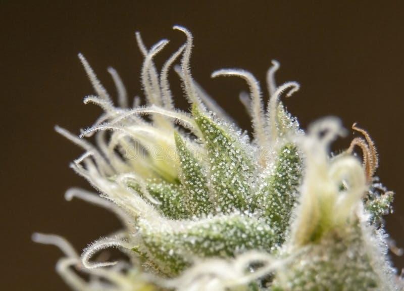 Macrobeeld van een marihuanabovenkant royalty-vrije stock foto
