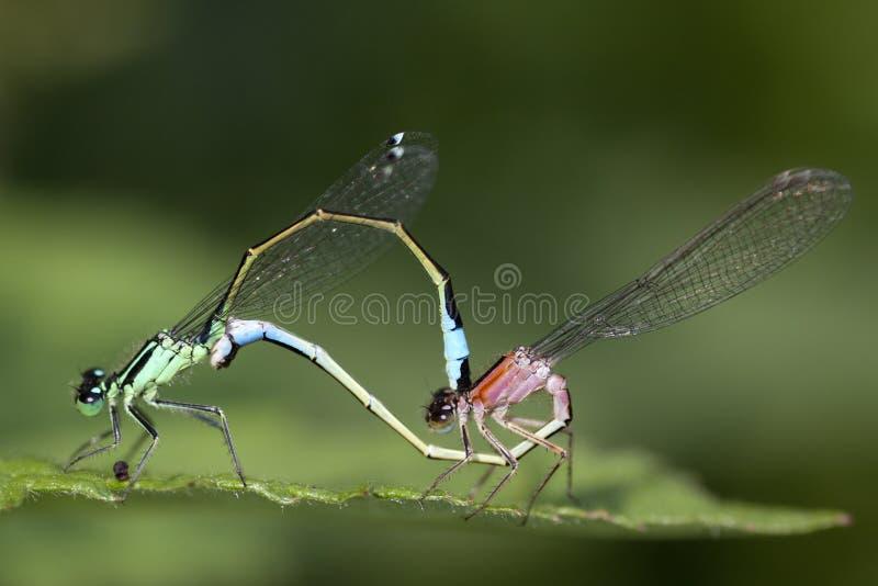 Macrobeeld van 2 gekleurde insecten stock afbeelding