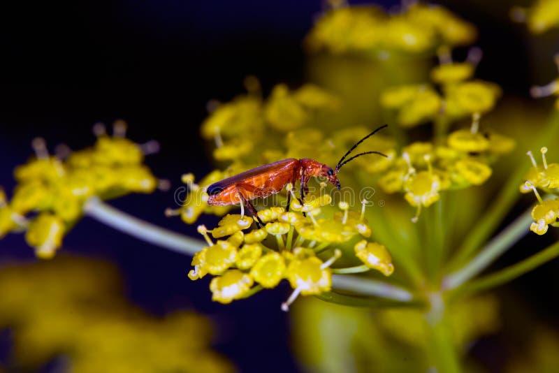 Macrobeeld van kleurrijk insect op bloem stock foto