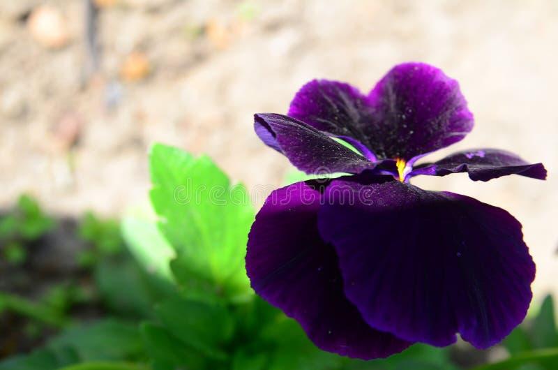 Macrobeeld van purper viooltje royalty-vrije stock afbeeldingen