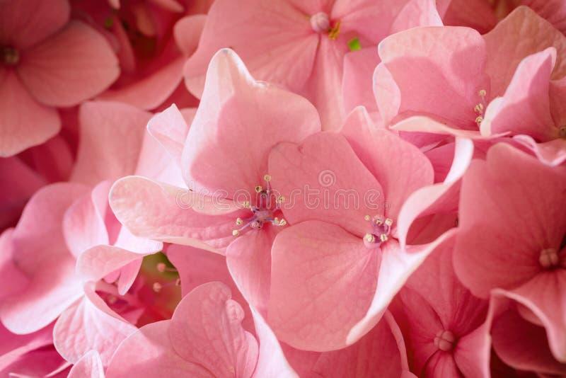 Macrobeeld van roze hydrangea hortensiabloem, natuurlijke bloemenachtergrond geschikt voor behang royalty-vrije stock foto