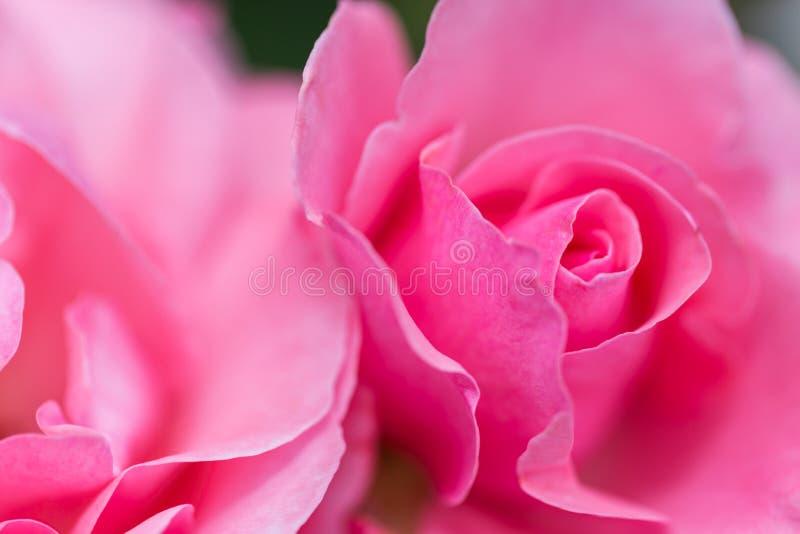 Macrobeeld van roze rozen stock fotografie