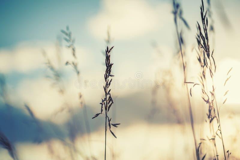 Macrobeeld van wilde grassen bij zonsondergang royalty-vrije stock foto's