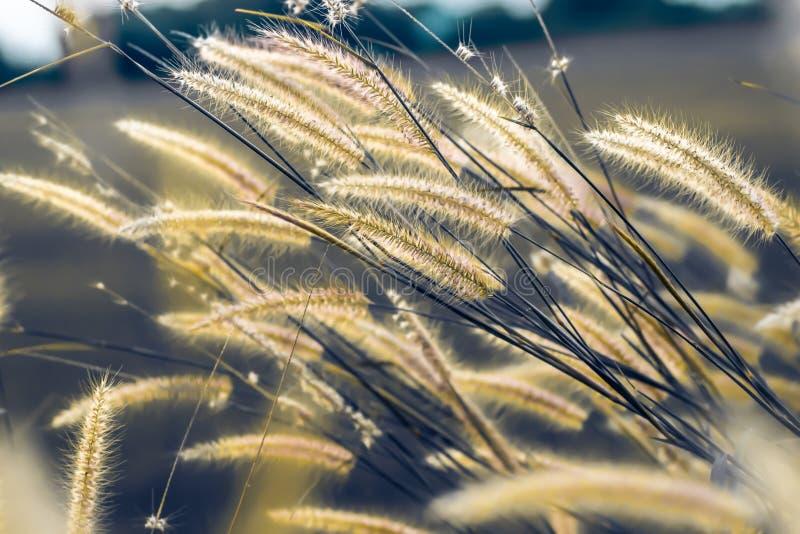 Macrobeeld van wilde grassen, kleine diepte van gebied Uitstekend Effect Mooie landelijke aard Wilde grassen bij gouden de zomerz stock fotografie