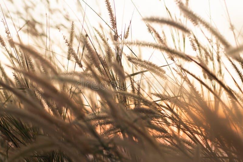 Macrobeeld van wilde grassen, kleine diepte van gebied Uitstekend Effect Mooie landelijke aard Wilde grassen bij gouden de zomerz stock foto
