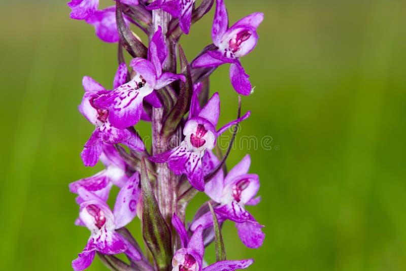 Macrobeeld van wilde orchidee op de klip van Møn, Denemarken royalty-vrije stock afbeelding
