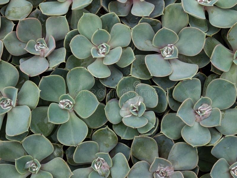 Macrocactus royalty-vrije stock foto