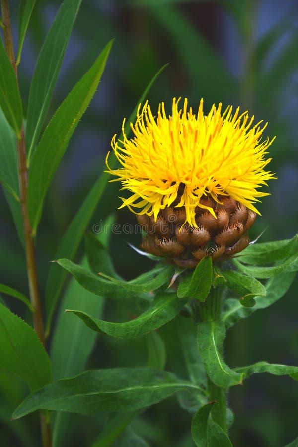 Macrocephala amarelo do Centaurea da centáurea de Krupnogolovyj fotos de stock royalty free