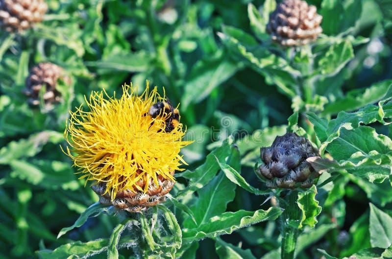 Macrocephala gigante amarelo de ?entaurea da centáurea com uma abelha que recolhe o pólen fotografia de stock royalty free