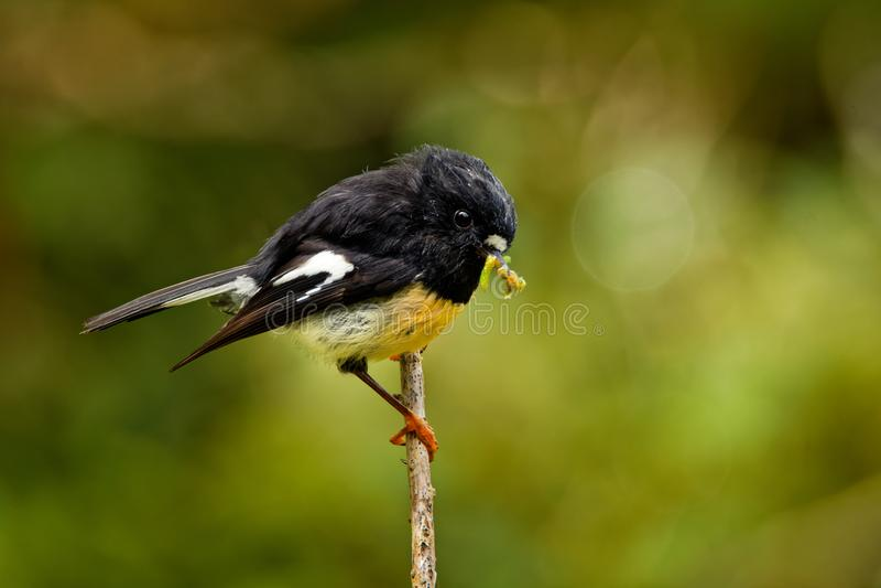 Macrocephala macrocephala Petroica - νότιο νησί Tomtit - miromiro ενδημική συνεδρίαση πουλιών της Νέας Ζηλανδίας δασική στον κλάδ στοκ εικόνες με δικαίωμα ελεύθερης χρήσης
