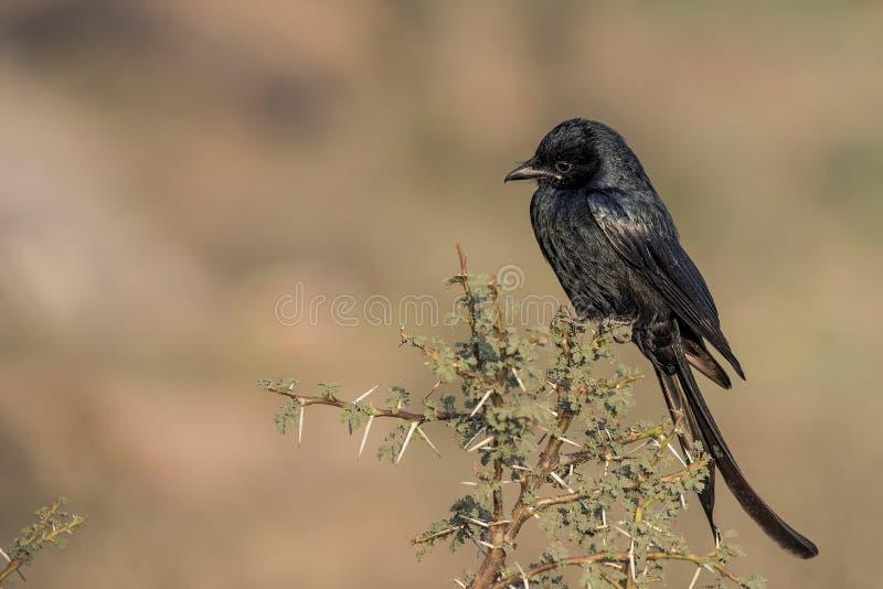 Macrocercus noir de Dicrurus de Drongo été perché sur la branche photographie stock
