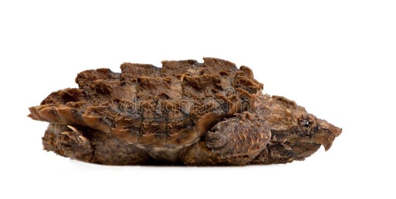 macrochelys d'alligator étant enclenchés des jeunes de tortue de temm images libres de droits