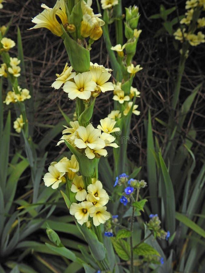 Macroclose-up van de lente gele sleutelbloemen in de weide van Kent stock afbeelding