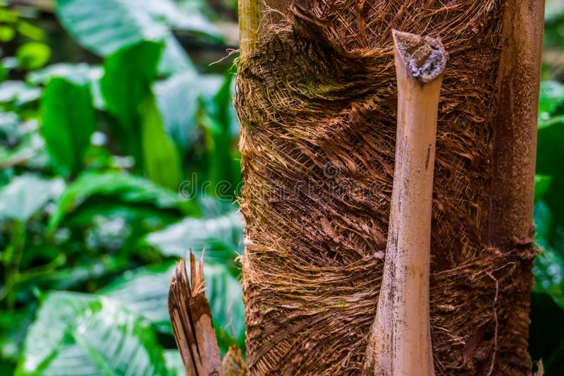 Macroclose-up van een palmboomstam, een tropische aardachtergrond, populaire tuininstallaties en bomen stock fotografie