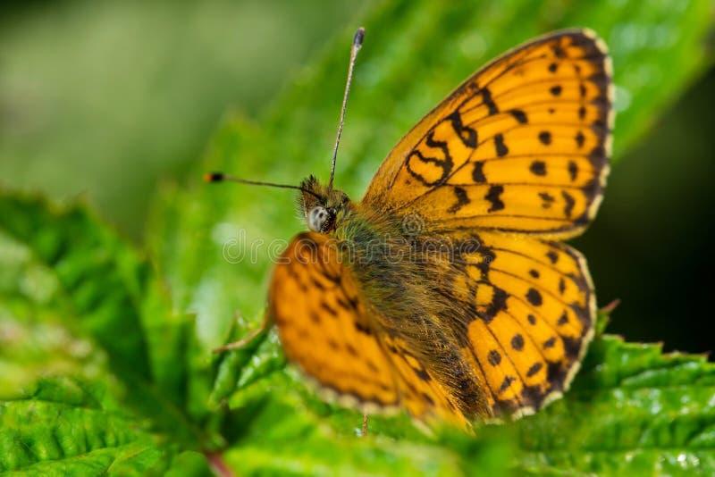 macrocosm Der schöne Schmetterling wird in der Sonne geaalt Wilde Natur Insekte und Blumen lizenzfreies stockfoto