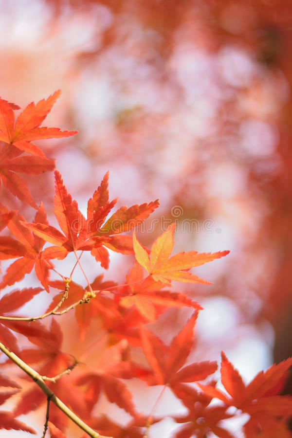 Macrodetails van Japanse Autumn Maple-bladeren met vage achtergrond stock afbeelding